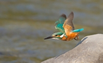Common Kingfisher from the Corbett Tiger Reserve India