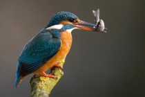 Common Kingfisher with prey Alcedo atthis