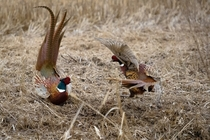 Common pheasant  Phasianus colchicus roosters fighting