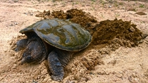 Common snapping turtle laying a clutch of eggs