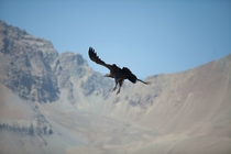Condor over Valle Nevado Los Andes Chille