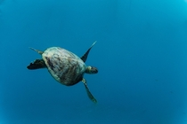 Cool shot taken of a turtle from the Great Barrier Reef Australia by laurenchelseaginter OS x