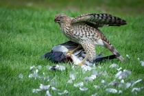 Coopers Hawk enjoying a meal Album in Comments