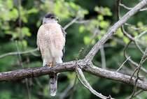 Coopers Hawk Photo credit to Gary Ladner