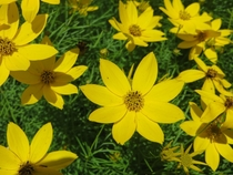 Coreopsis Flowers Catching Sun in Philadelphia