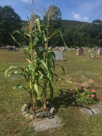 Corn planted instead of flowers in memory of this farmers gravestone