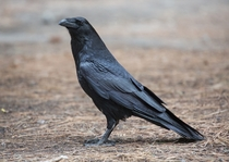 Corvus corax Common Raven at Camp  in Yosemite Valley Yosemite National Park California United States Photo David Iliff