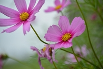 Cosmos on a cloudy day