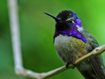 Costa Hummingbird Calypte costae