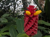 Costus Barbatus Spiral Ginger