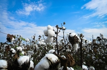 Cotton on a Beautiful Day