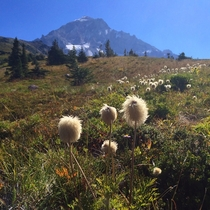 Cottongrass Eriophorum at Mount Hood OR
