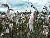 Cottongrass on a meadow in Sweden