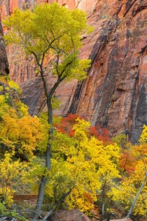 Cottonwood and Maple In Fall Splendor Zion National Park