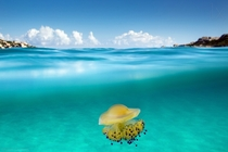 Cotylorhiza tuberculata is a species of jellyfish also known as the Mediterranean jelly or fried egg jellyfish It is commonly found in the Mediterranean Sea Aegean Sea and Adriatic Sea    I found this subject in the north of Sardinia Italy says Roberto Sy