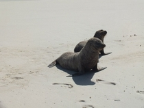 Couple of sand covered sea lions from the Galapagos