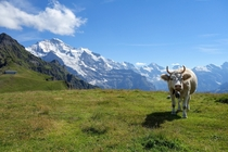 Cow relaxing in the alps