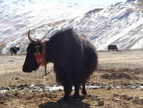 Cows and yows in the Tibetan Himalayas  x