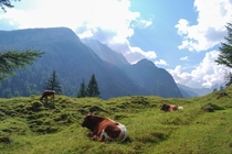 Cows in Berchtesgaden National Park