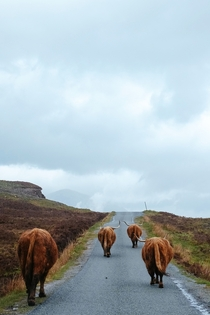 Cows in Skye Scotland