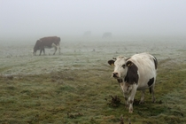 cows in the fog Poland