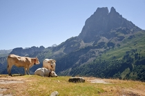 Cows in the Pyrenees