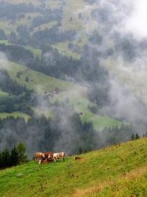 Cows on Alpe de Chaux Switzerland  OC