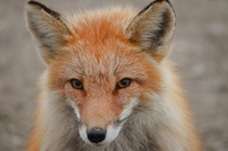 Coy Alaskan Red Fox