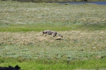 Coyote C latrans Hunting in Tuolumne Meadows Yosemite