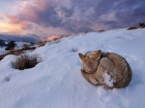 Coyote Canis latrans hunkers down to weather the cold