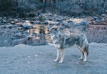 Coyote in Yosemite National Park