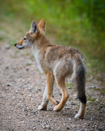 Coyote on the side of the road - Riding Mountain National Park