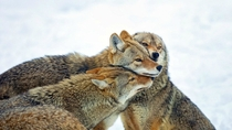 Coyotes in the cold Canis latrans