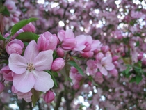 Crabapple blossoms in springtime Rochester NY