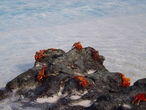 Crabs on the Galpagos Islands