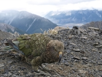 Crafty buggers Kia near a Southern Alps peak