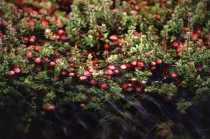 Cranberries Vaccinium macrocarpon in the Bog