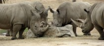 Crash of White Rhinoceros Ceratotherium simum
