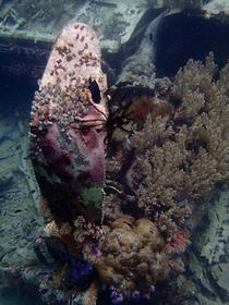 Crashed US WWII fighter encrusted in living coral Marovo Lagoon Solomon Islands  album in comments