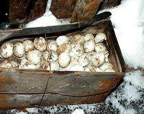 Crate of Emperor Penguin eggs abandoned by the Scott Antarctic expedition