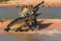 Crazy photo of a Leopard fighting a Crocodile with permission of photographer Justin Black