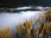 Creeping fog amongst larches in Montana  IG petenathanson