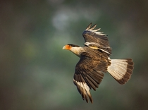 Crested Caracara and Scissor-tailed Flycatcher Jerry Black