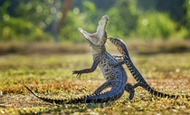 Crocodile surprised by a Monitor Lizard Hendy Lie