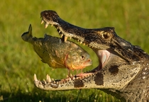 Crocodile with its prey-piranha