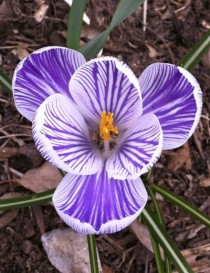Crocus Crocus longiflorus - first spring in a new house means surprise flora in my yard