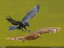 Crow chasing Owl Photo Chia Boon Oo Lawrence
