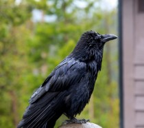 Crow in the rain at Yellowstone Corvus brachyrhynchos
