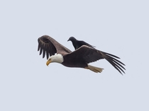 Crow Rides on the Back of a Bald Eagle photograph by Phoo Chan