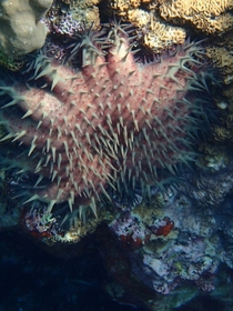 Crown of Thorns Starfish at Two-Step Hawaii